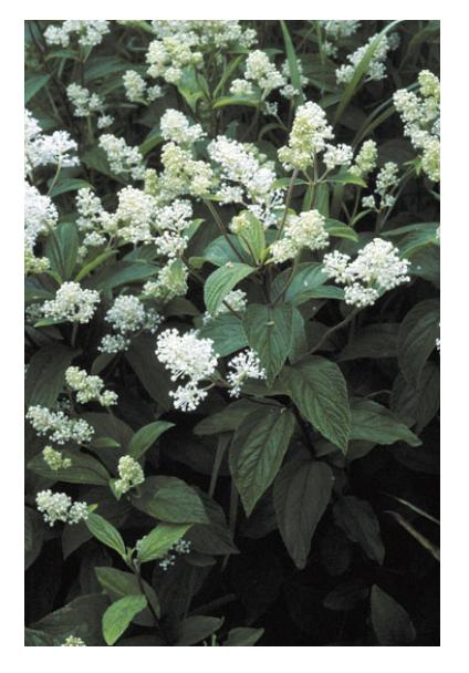 Figure 1 – Example of a plant native to New Jersey - New Jersey Tea Ceanothus americanus (Source: US EPA).